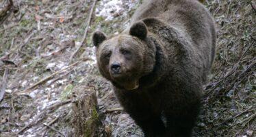 Orso bruno, lontra, delfino e lupo nella lista delle 23 specie a rischio