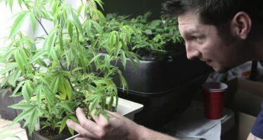 Depenalizzata la coltivazione della cannabis, anzi no