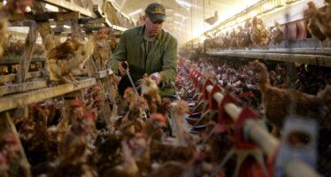 Il nuovo morbo dei polli che possiamo sconfiggere al supermercato