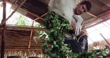 La Colombia non spargerà più il diserbante sui campi di coca