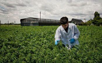 Cannabis, Ncd stoppa la linea soft