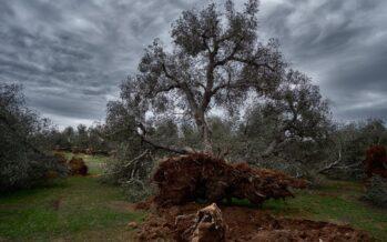 """La """"grande coalizione"""" per salvare gli ulivi pugliesi vola in Europa"""