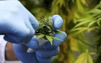 Cannabis, vietata la coltivazione