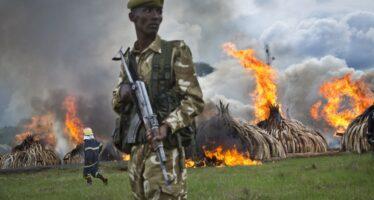 """Il rito del Kenya contro i bracconieri """"Bruciamo tonnellate di avorio"""""""