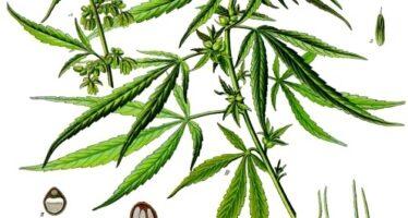 Cannabis. La crociata di Salvini e la manipolazione della verità