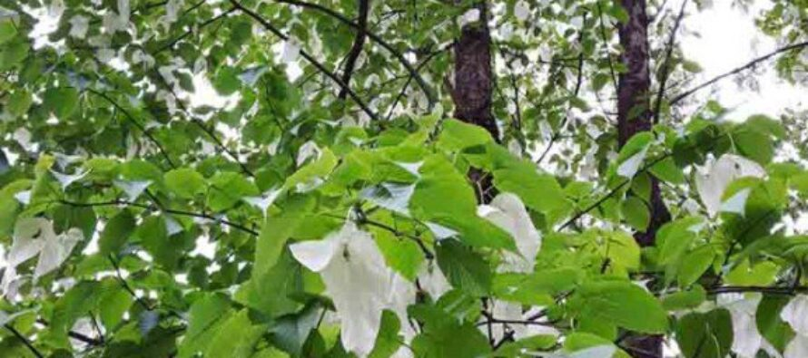 Un parco di fiori bianchi per le vittime dell'Eternit