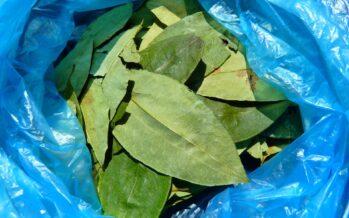 Nasce il Coordinamento di Coltivatori di Coca, Papavero e Marihuana nel Cauca