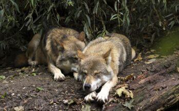 Il governo ora se la prende con i lupi