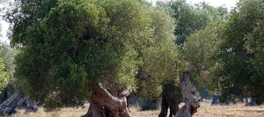 Gasdotto in Salento, il Tar sospende la mattanza degli ulivi