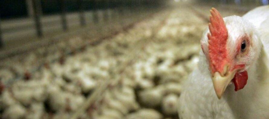 Coop: basta con gli antibiotici nelle carni e nelle uova