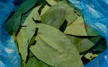 Contadini di Bolívar chiedono trasformazione strutturale per le coltivazioni di coca