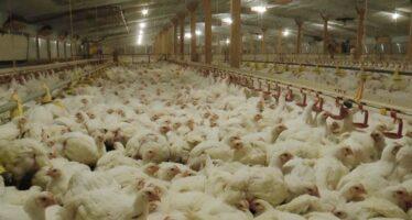 L'inferno degli allevamenti intensivi. «Attenti pure al biologico industriale»