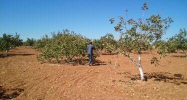 Kobane. On the pistachio's trail
