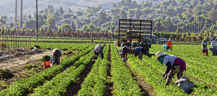 Agricoltura.Le cifre della grande piaga del caporalato